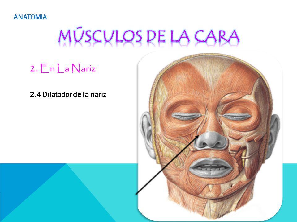 Hermosa Anatomía Quirúrgica De La Nariz Foto - Anatomía de Las ...