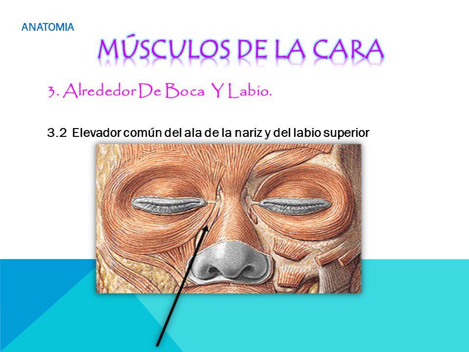 Famoso Anatomía De La Nariz De Vídeo Adorno - Anatomía de Las ...