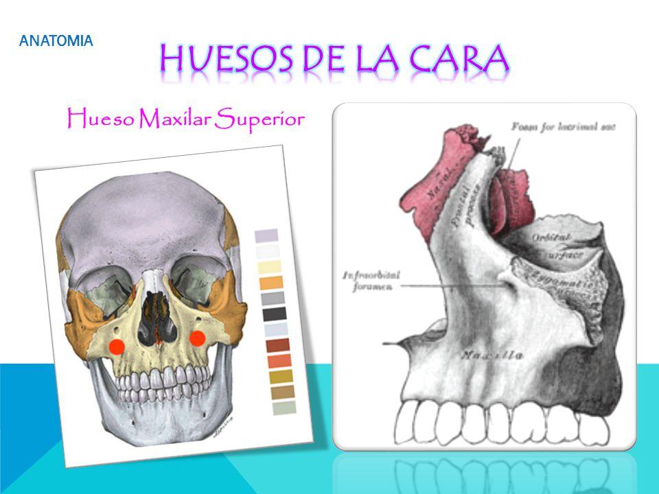 Contemporáneo Anatomía Maxilar Componente - Anatomía de Las ...