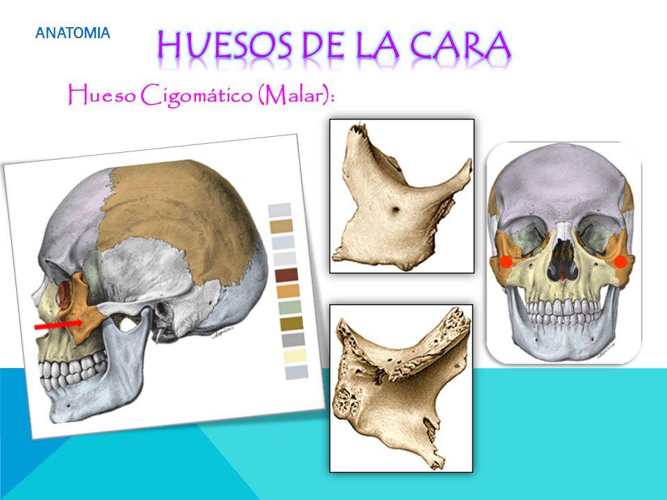 Perfecto Anatomía Hueso Cigomático Molde - Anatomía de Las ...