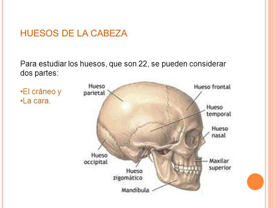 Dorable Huesos Estudiar La Anatomía Festooning - Anatomía de Las ...