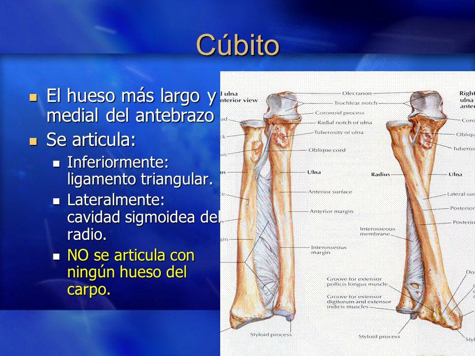 Increíble Anatomía Hueso Cúbito Composición - Anatomía de Las ...