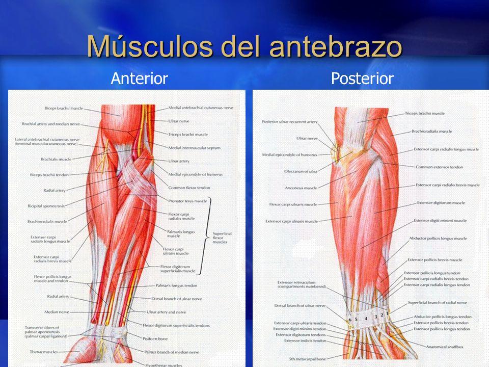 Contemporáneo Músculos Del Antebrazo Galería - Anatomía de Las ...