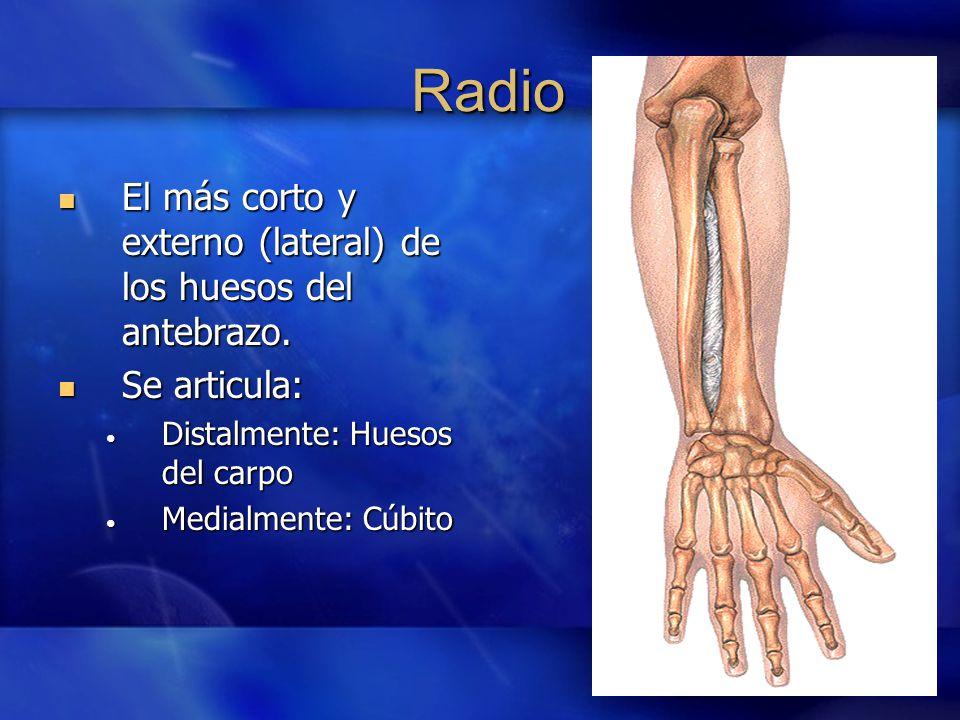 Excepcional Cuál Es El Hueso Del Radio Colección - Anatomía de Las ...