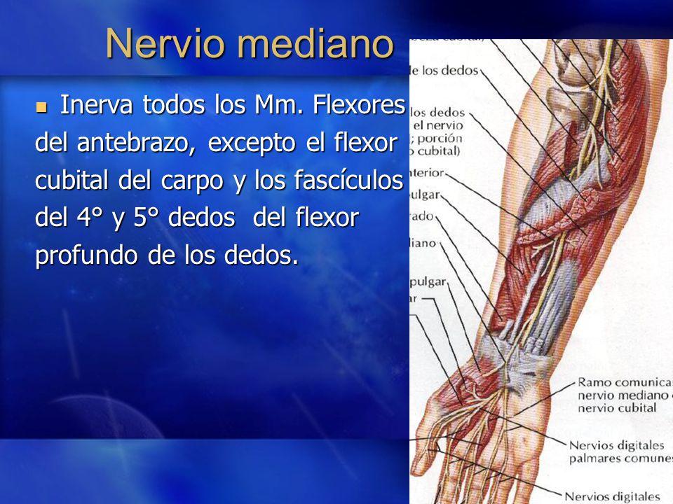 Atractivo Anatomía Del Nervio Pulgar Festooning - Anatomía de Las ...