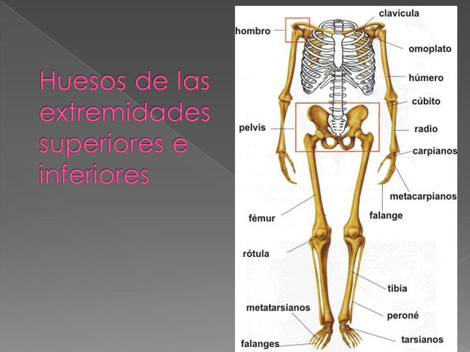 Atractivo Los Huesos De Las Extremidades Superiores Anatomía ...