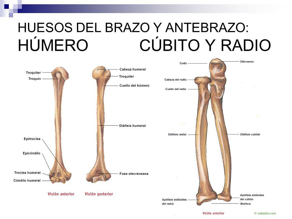 Excepcional Hueso Del Antebrazo Ornamento - Anatomía de Las ...