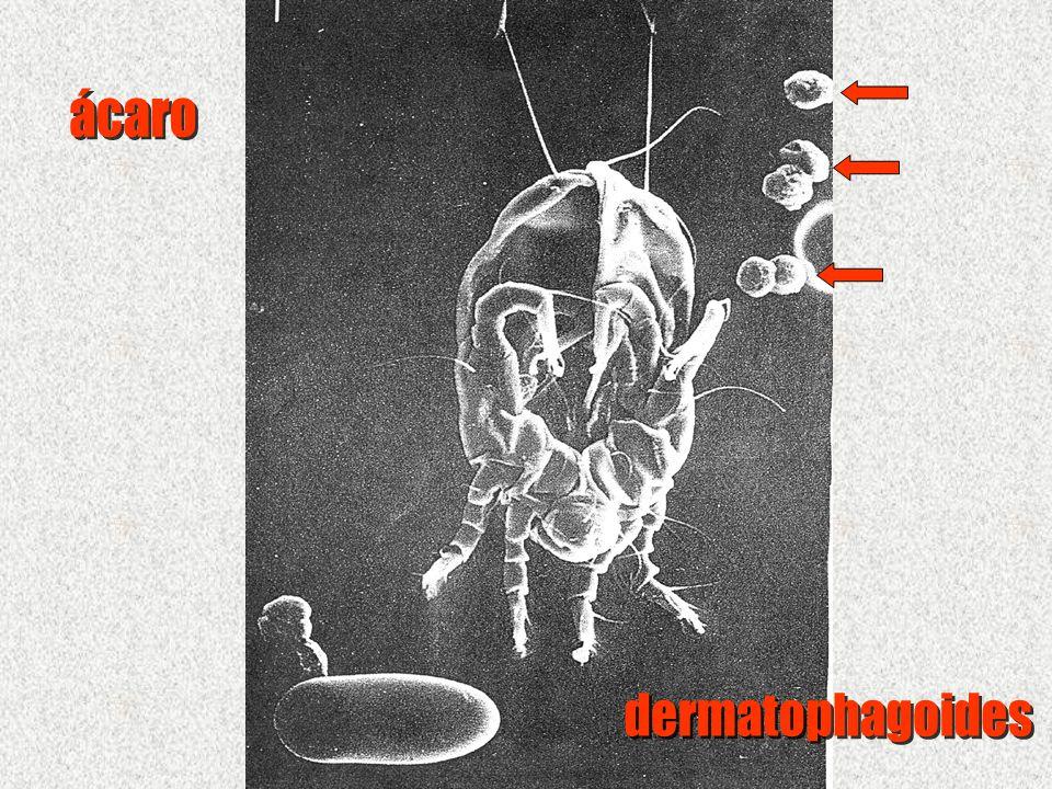 ácaro dermatophagoides