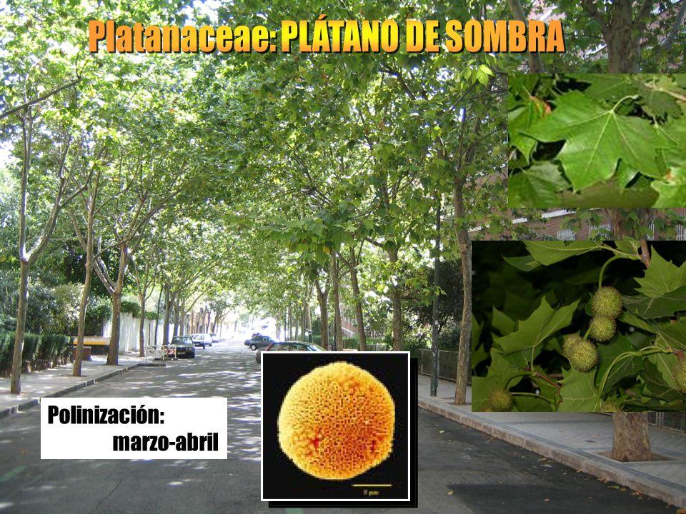 Platanaceae: PLÁTANO DE SOMBRA