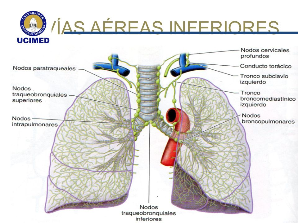 Vistoso Inferior Anatomía De Las Vías Respiratorias Regalo ...