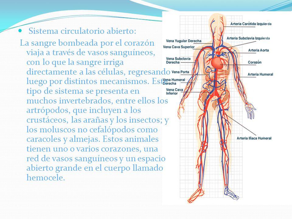 Sistema circulatorio abierto: