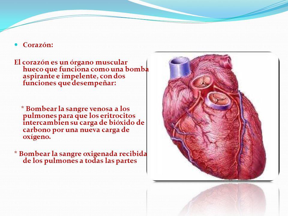 Corazón: El corazón es un órgano muscular hueco que funciona como una bomba aspirante e impelente, con dos funciones que desempeñar: