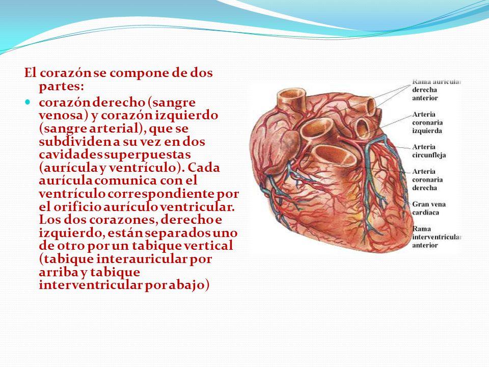 El corazón se compone de dos partes: