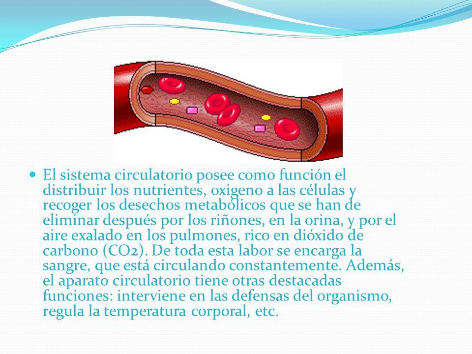 El sistema circulatorio posee como función el distribuir los nutrientes, oxigeno a las células y recoger los desechos metabólicos que se han de eliminar después por los riñones, en la orina, y por el aire exalado en los pulmones, rico en dióxido de carbono (CO2).