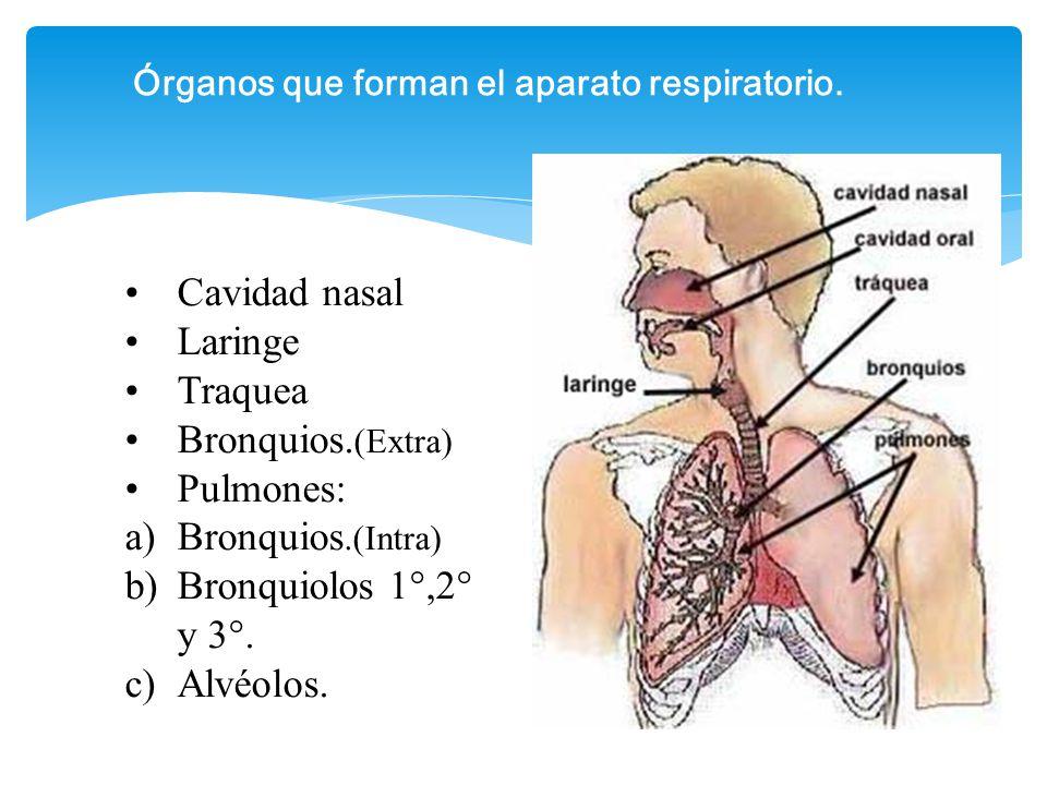Excepcional Qué órganos Del Sistema Respiratorio Colección de ...