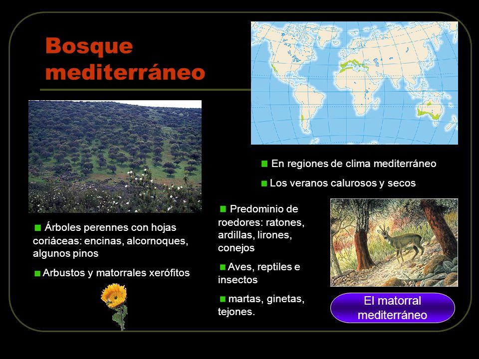 Climogramas y biomas ppt descargar for Arboles de hoja perenne para clima mediterraneo