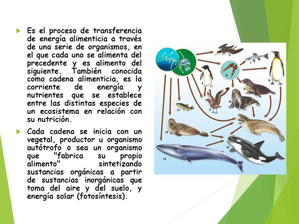 Es el proceso de transferencia de energía alimenticia a través de una serie de organismos, en el que cada uno se alimenta del precedente y es alimento del siguiente. También conocida como cadena alimenticia, es la corriente de energía y nutrientes que se establece entre las distintas especies de un ecosistema en relación con su nutrición.