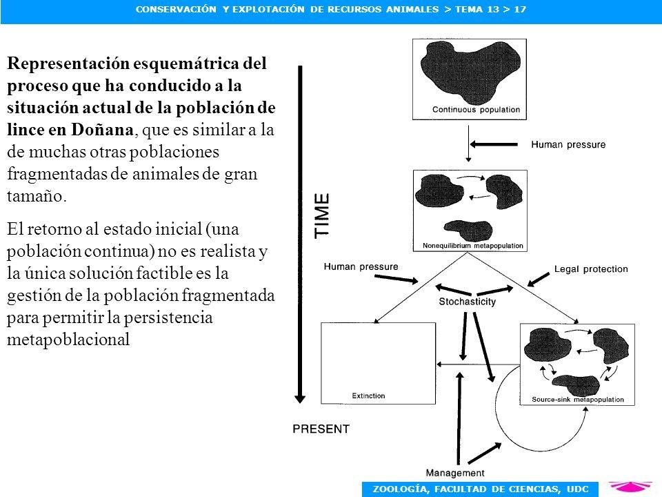 Representación esquemátrica del proceso que ha conducido a la situación actual de la población de lince en Doñana, que es similar a la de muchas otras poblaciones fragmentadas de animales de gran tamaño.