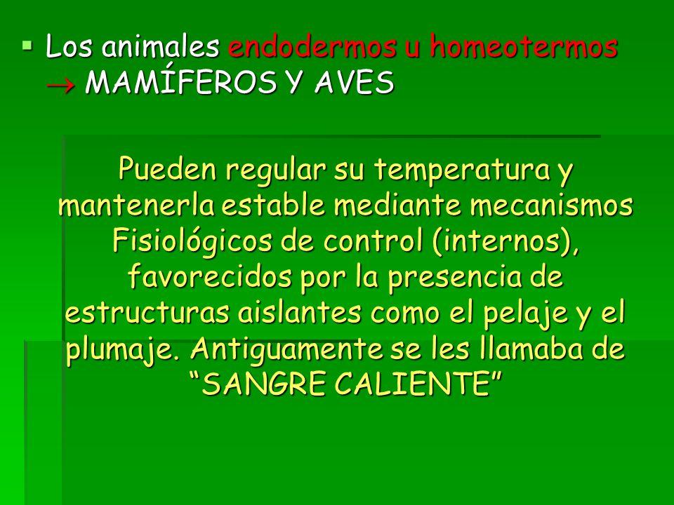 Los animales endodermos u homeotermos  MAMÍFEROS Y AVES