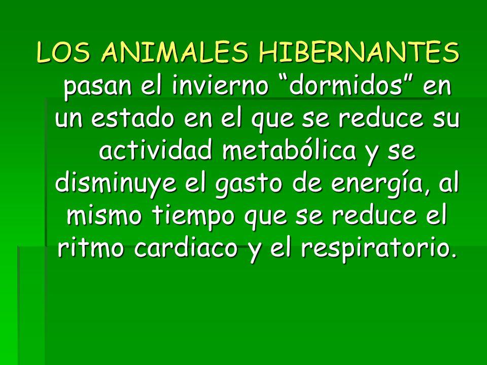 LOS ANIMALES HIBERNANTES pasan el invierno dormidos en un estado en el que se reduce su actividad metabólica y se disminuye el gasto de energía, al mismo tiempo que se reduce el ritmo cardiaco y el respiratorio.