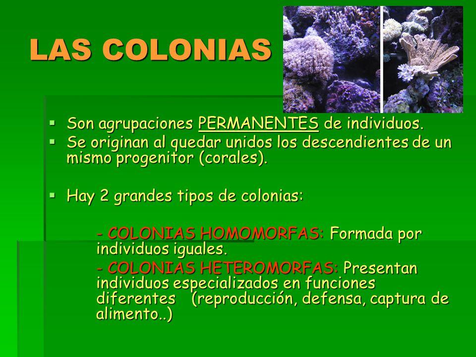 LAS COLONIAS Son agrupaciones PERMANENTES de individuos.