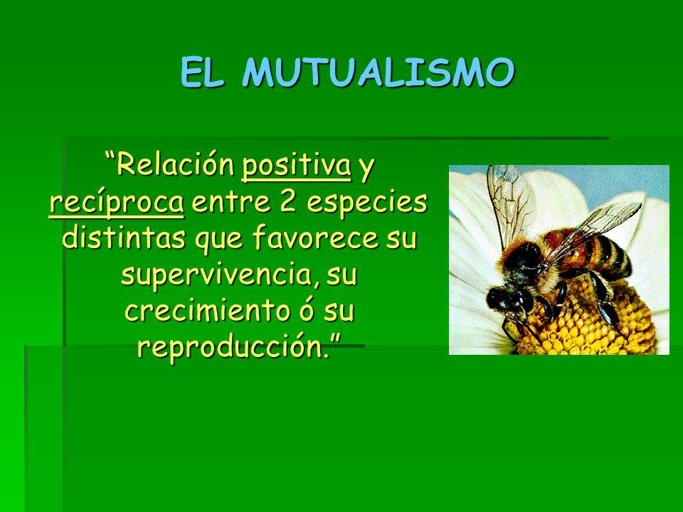 EL MUTUALISMO Relación positiva y recíproca entre 2 especies distintas que favorece su supervivencia, su crecimiento ó su reproducción.