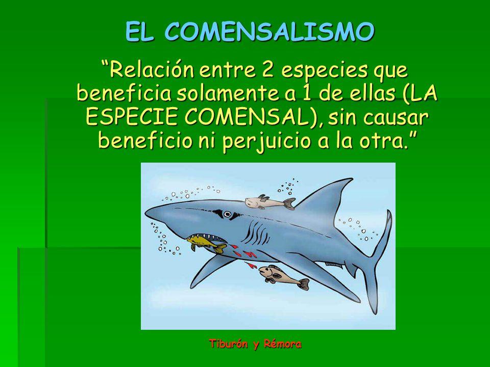 EL COMENSALISMO Relación entre 2 especies que beneficia solamente a 1 de ellas (LA ESPECIE COMENSAL), sin causar beneficio ni perjuicio a la otra.