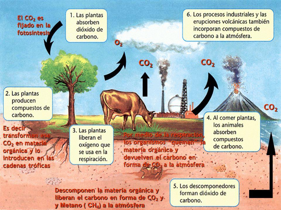 El CO2 es fijado en la fotosíntesis
