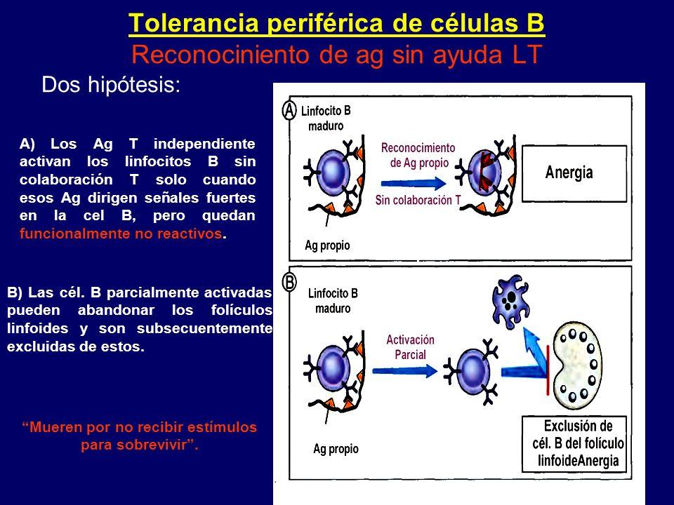 Tolerancia periférica de células B Reconociniento de ag sin ayuda LT