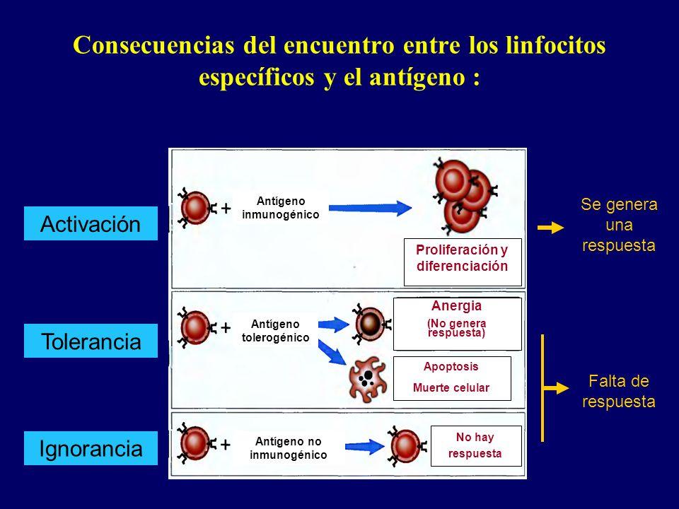 Consecuencias del encuentro entre los linfocitos específicos y el antígeno :