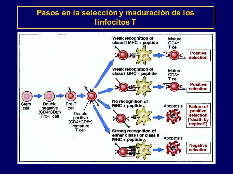 Pasos en la selección y maduración de los linfocitos T