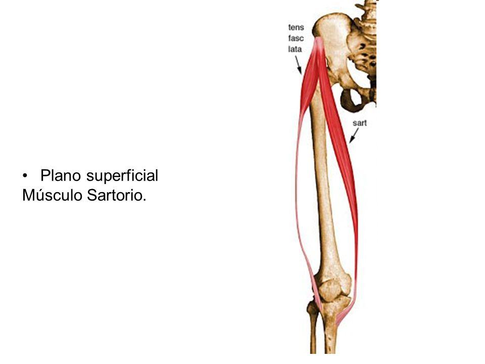 Lujo Músculo Sartorio Fotos - Anatomía de Las Imágenesdel Cuerpo ...