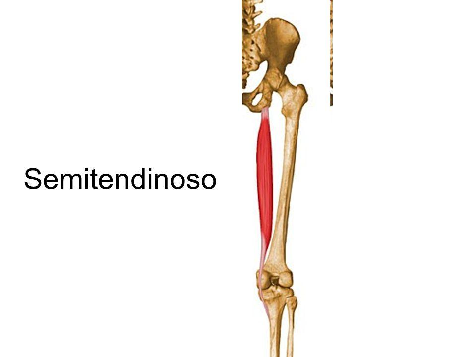 Lujoso Semitendinoso Regalo - Anatomía de Las Imágenesdel Cuerpo ...