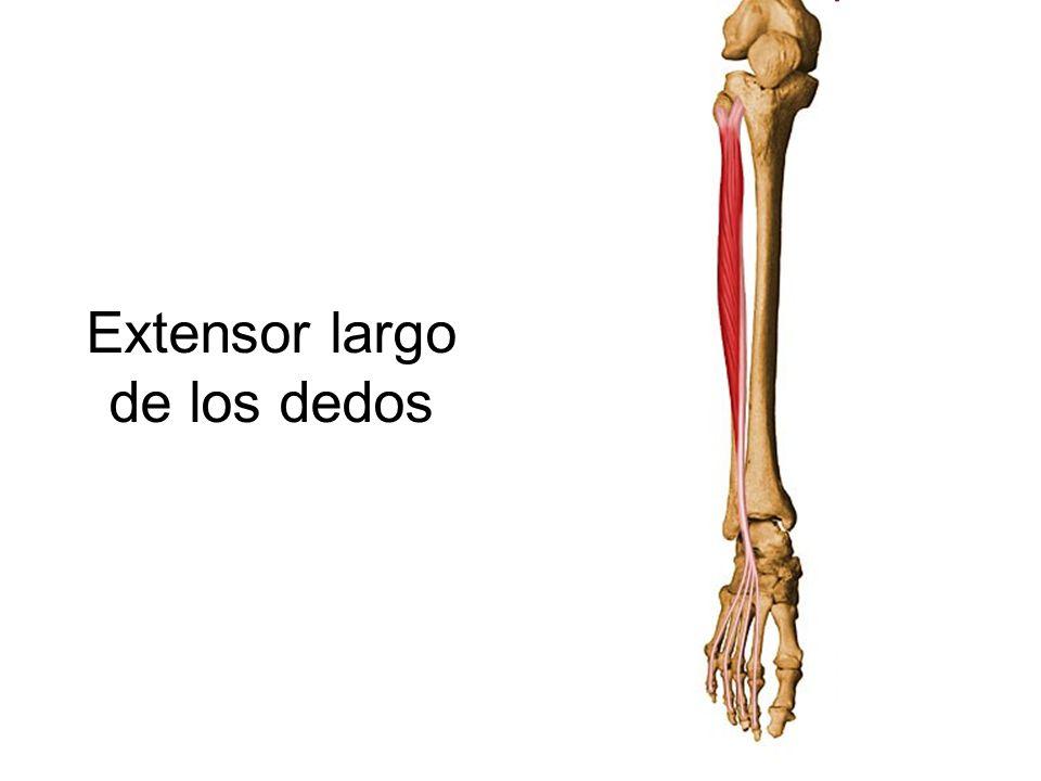 Magnífico Extensor Largo De Los Dedos Foto - Anatomía de Las ...