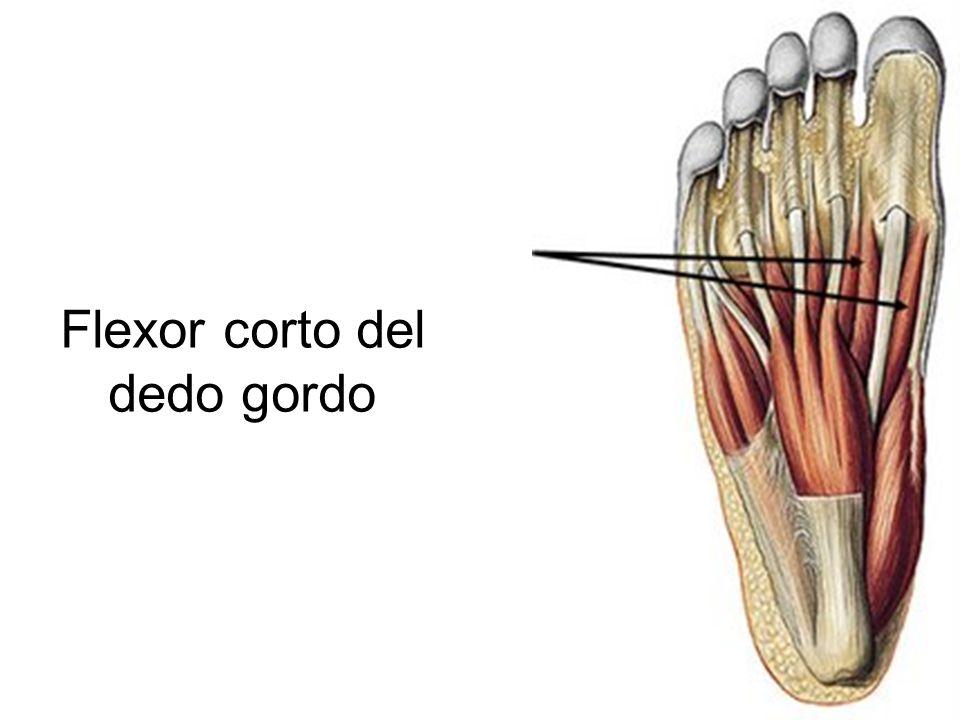 Asombroso Anatomía De La Articulación Del Dedo Gordo Elaboración ...