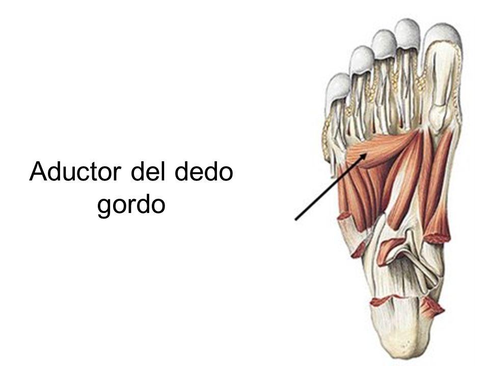 Vistoso Anatomía Del Dedo Del Pie Composición - Imágenes de Anatomía ...