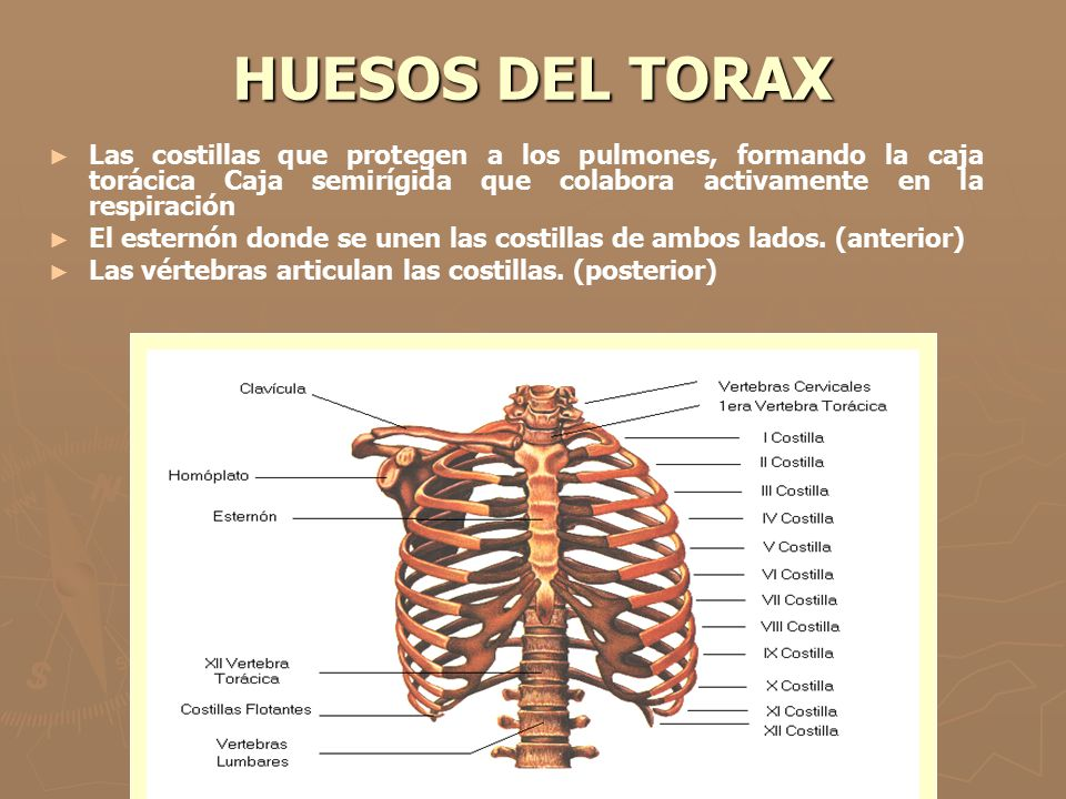 Magnífico Anatomía De La Zona De La Caja Torácica Motivo - Anatomía ...