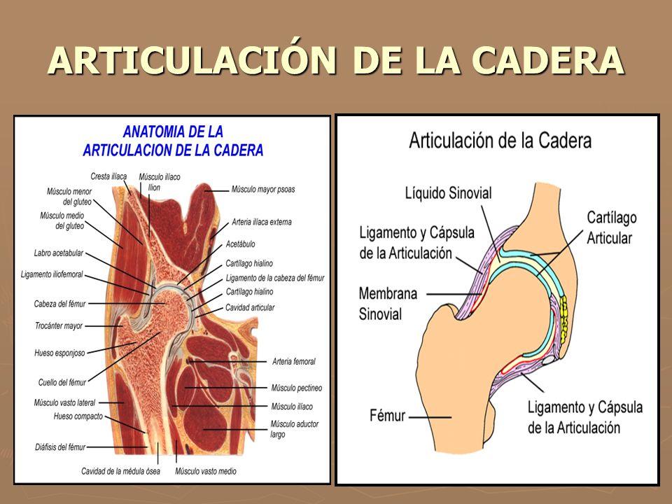 Moderno Anatomía Interna De Una Paloma Festooning - Anatomía de Las ...