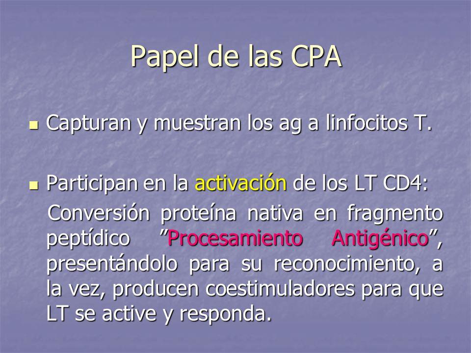 Papel de las CPA Capturan y muestran los ag a linfocitos T.