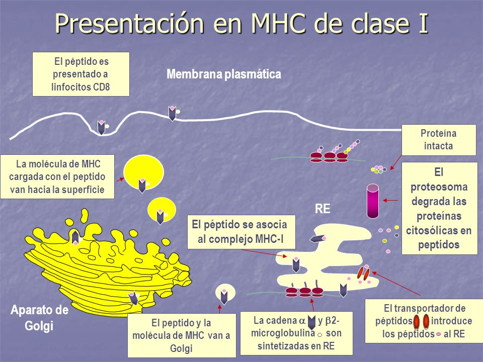Presentación en MHC de clase I