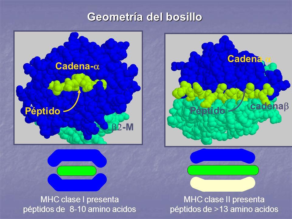 Geometría del bosillo Cadena a Cadena-a cadenab Péptido Péptido b2-M