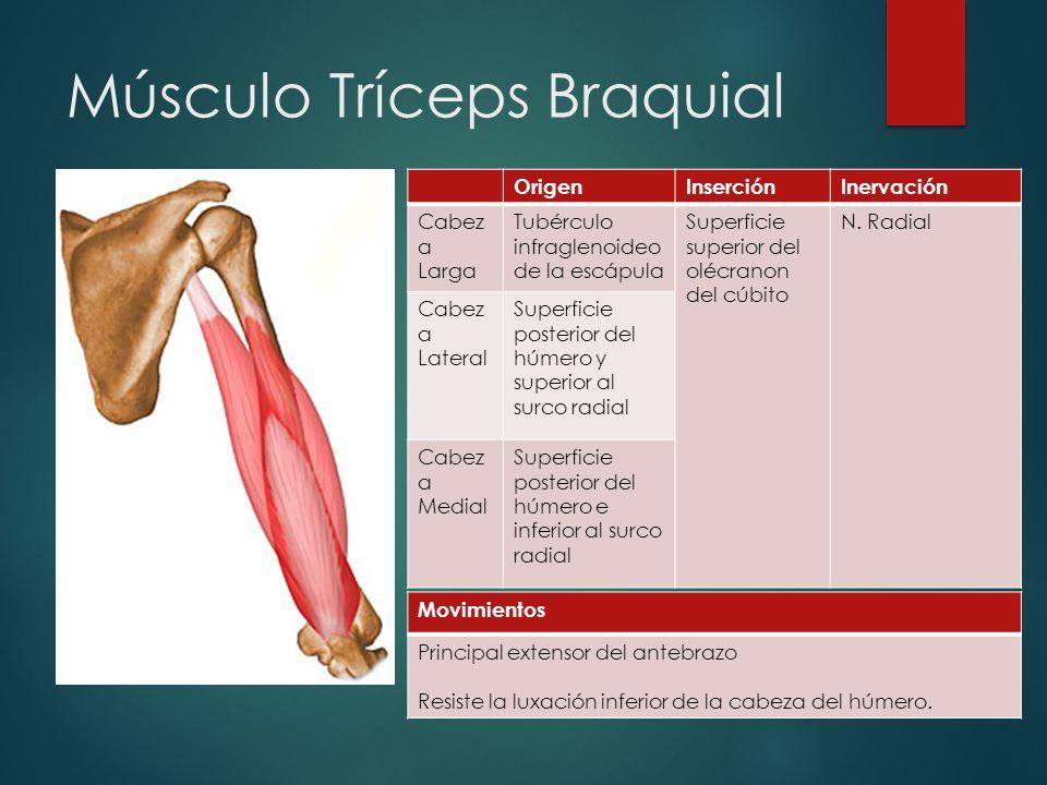 Famoso Ubicación Tríceps Adorno - Anatomía de Las Imágenesdel Cuerpo ...