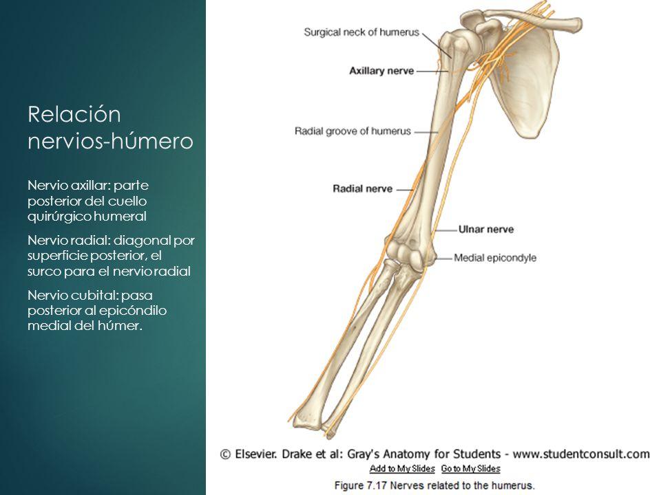 Lujo Anatomía Del Húmero Ilustración - Anatomía de Las Imágenesdel ...