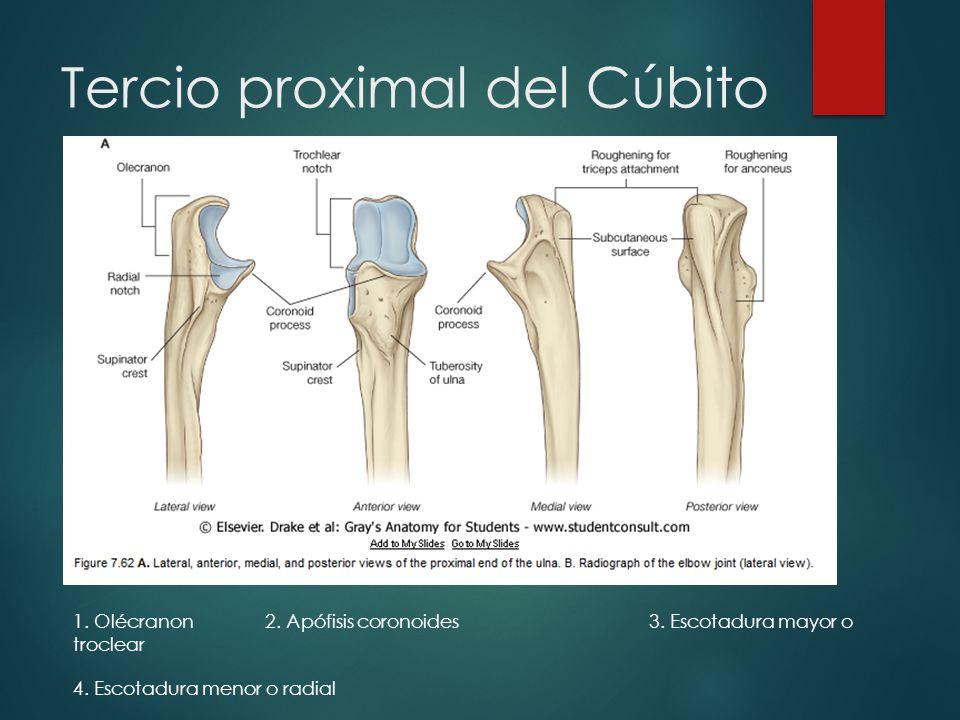 Bonito Anatomía Cúbito Proximal Colección - Anatomía de Las ...