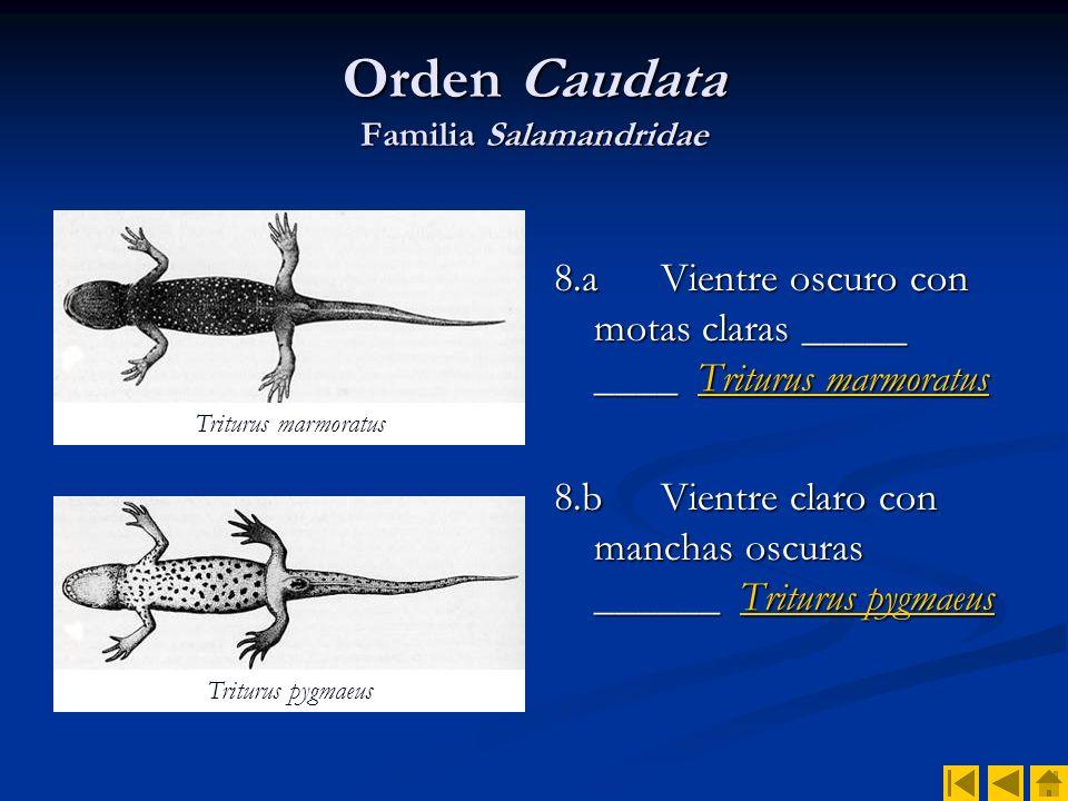 Orden Caudata Familia Salamandridae