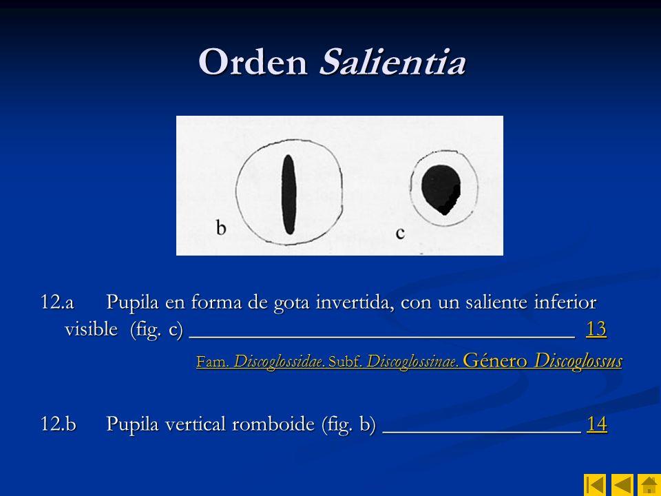 Orden Salientia 12.a Pupila en forma de gota invertida, con un saliente inferior visible (fig. c) ___________________________________ 13.
