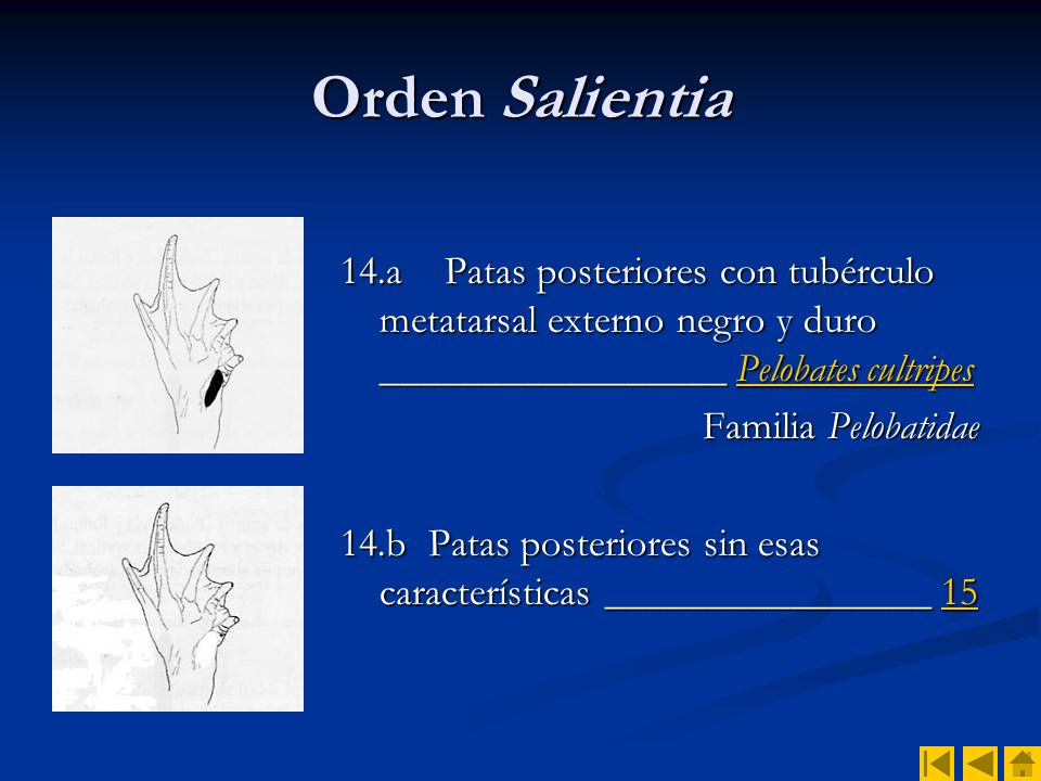 Orden Salientia 14.a Patas posteriores con tubérculo metatarsal externo negro y duro _________________ Pelobates cultripes.