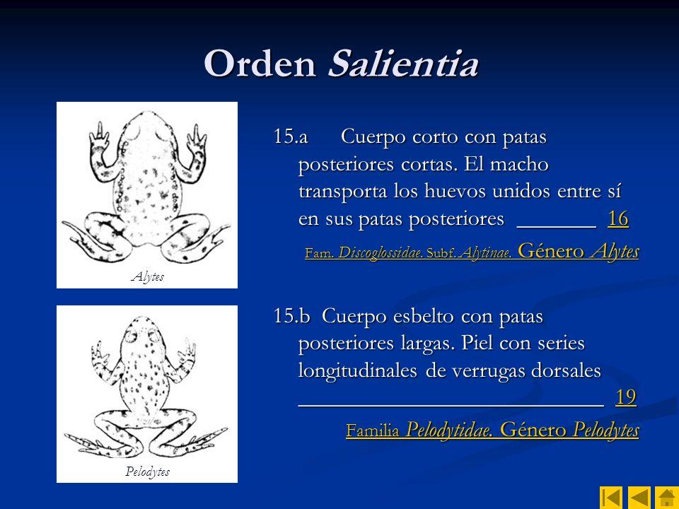 Orden Salientia 15.a Cuerpo corto con patas posteriores cortas. El macho transporta los huevos unidos entre sí en sus patas posteriores _______ 16.
