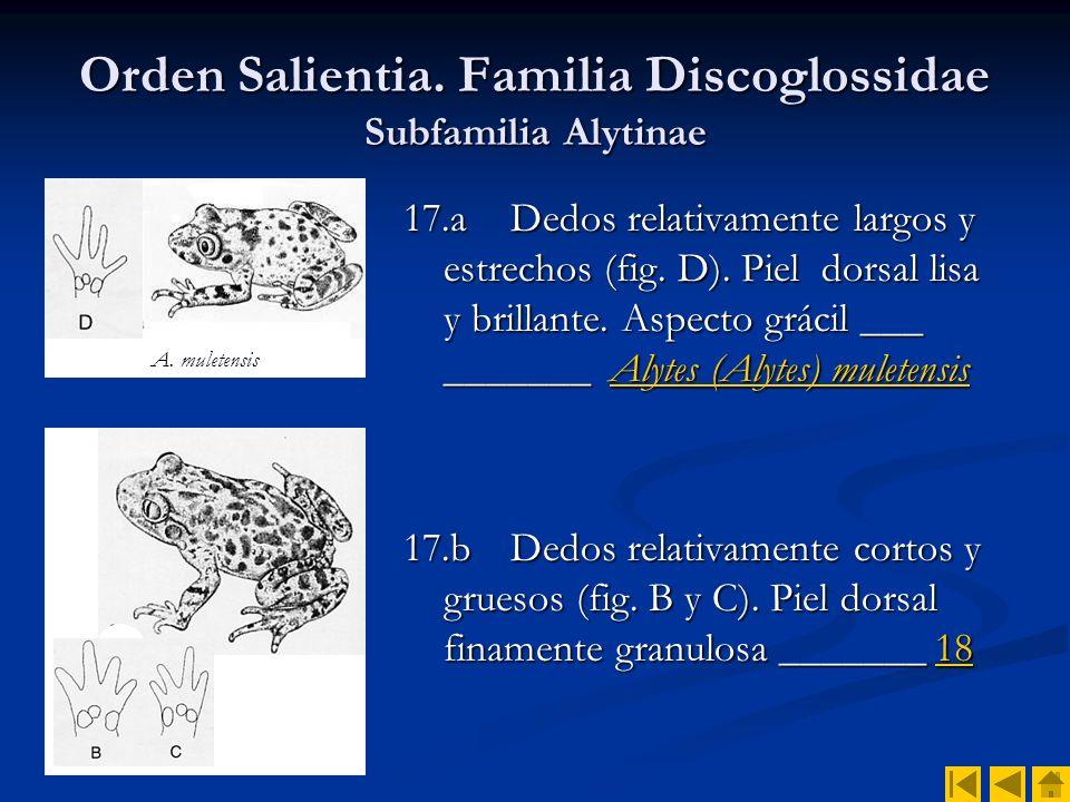 Orden Salientia. Familia Discoglossidae Subfamilia Alytinae