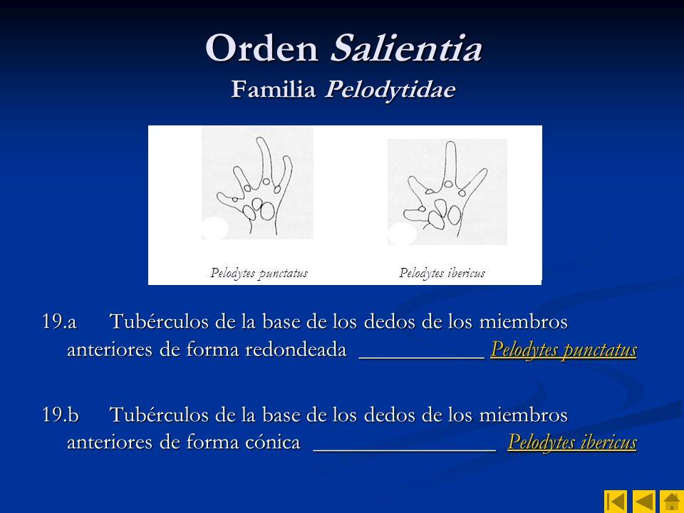 Orden Salientia Familia Pelodytidae